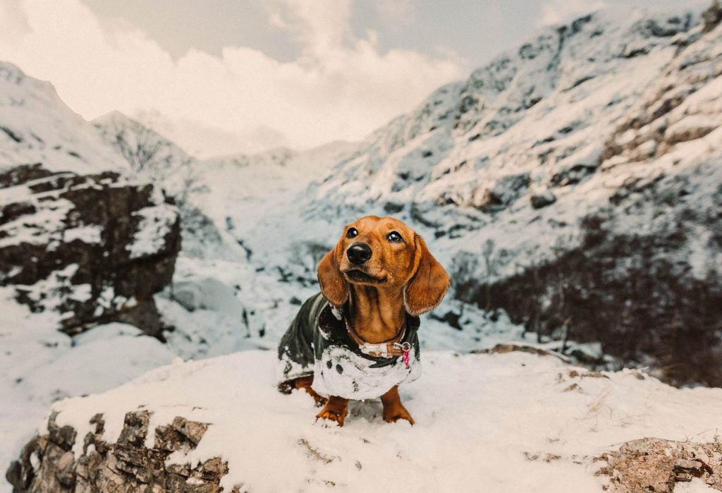 A Dachshund is standing on a rock covered in snow in the mountains.