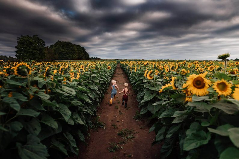 Two children are running on a path in the middle of sunflower fields.